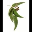 Lemon Eucalyptus - Vietnámi eukaliptusz 15 ml - doTERRA
