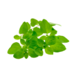 Marjoram – Majoranna illóolaj 15 ml - doTERRA