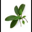 Wintergreen essential oil 15 ml - doTERRA